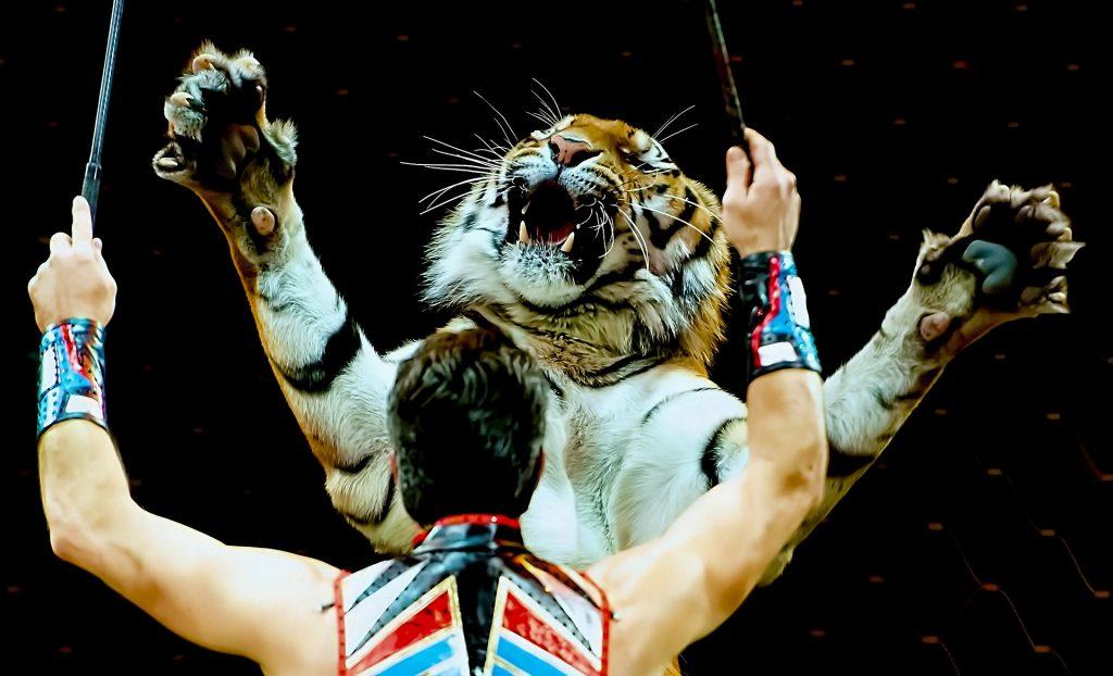Foto de domador com tigre num tigre