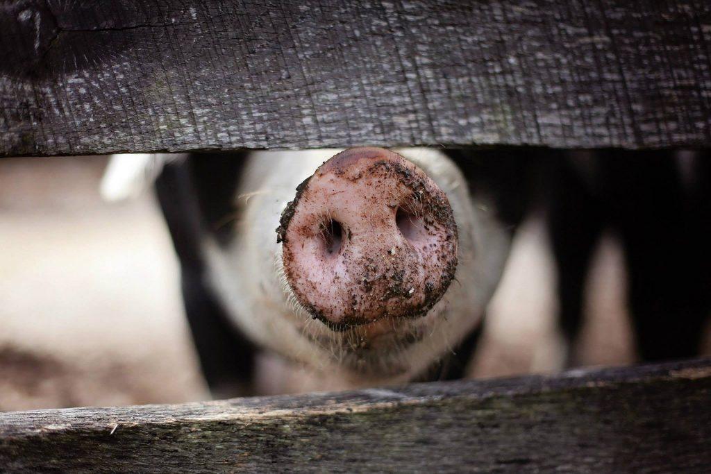 Acidente Transporte Porcos