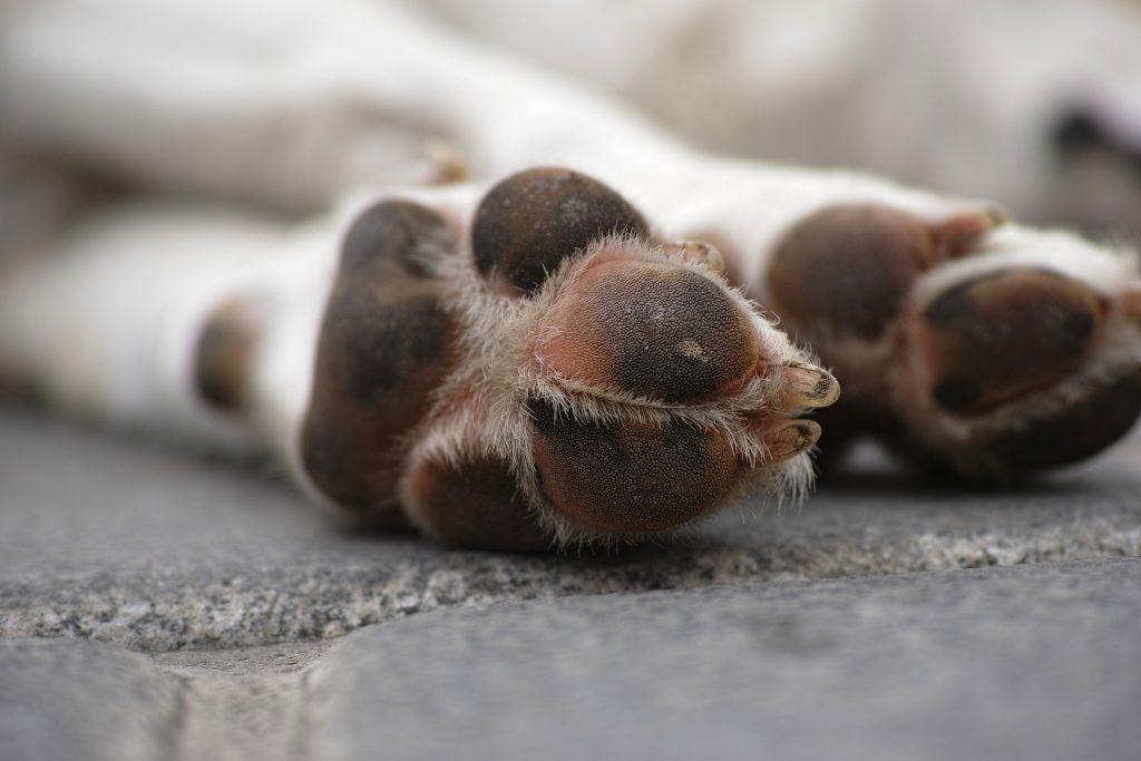 Patas cão