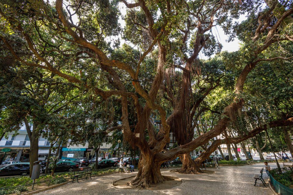 Árvore - Jardim Teófilo Braga